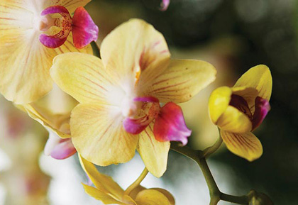 0213-Orchid-Show-Well-Revised-420x289.jpg
