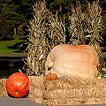 0911-Giant-Pumpkin-120x120.jpg