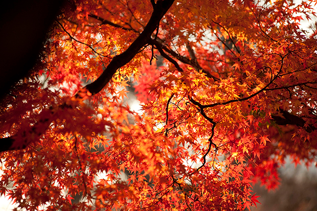 The leaves and trunk of maple tree in fall.